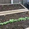秋の野菜をプランターで育てる(レタス)