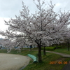 雨に打たれた桜