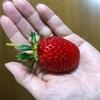 言い間違えと一粒のイチゴ。
