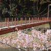 柴犬、桜をバックに吊り橋渡る