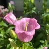 🌸カンパニュラ開花🌸