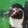 フンボルトペンギン Spheniscus humboldti