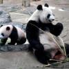 中国 パンダ ボランティア
