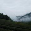 梅雨終盤 霧の茶畑