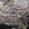 桜、さくら