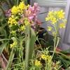 水菜ちゃん(初代)とのお別れの季節です。水菜に綺麗なお花が咲きました。