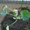 ズッキーニを植えました!