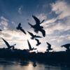 京都の鴨川に行ってスマホで野鳥を撮ってきた!!