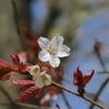 山桜も開花しました。