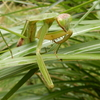 Japanese Mantises: It's a bug hunter!【Way to distinguish between them】