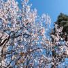 桜は、案外難しい