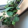 赤玉土だけで育てている観葉植物のその後