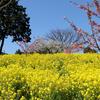 愛媛県伊予市 双海町「犬寄峠の黄色い丘」