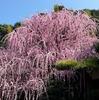 淡路島)樹齢70年「八木のしだれ梅」