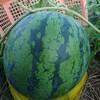 無農薬大玉スイカの収穫時期を教えてください@新潟EMBC複合発酵バイオで栽培する健康農産物の会