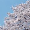 〈ひかり〉桜🌸満開🌸