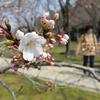 岡山で25日に桜の開花が発表!満開は4月1日の予想なので、週末は花見へGO!!