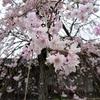 嵐山のさくら②観光120...20210404京都