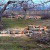 春に伐採される林檎の木 増えている離農するりんご農家