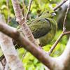 頭赤緑鳩(ズアカアオバト)♀