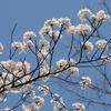 風景:新潟散歩【桜🌸コラボ祭り!】