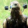 カメラを付けたゴールデンイーグル