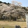 岐阜県観光大使の桜情報~樹齢1,500年の貫禄。淡墨桜~