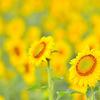 今年も一面に咲いてます 福岡県北九州市若松のひまわり(2014年7月16日現在)
