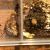 オオクワガタ♀に菌糸ビンに産卵させてみた結果について-掘り出した菌床の再利用について-その3【オオクワガタブリード】