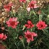 ピンクの控えめな花を次々咲かせる! ローダンセマム「マーズ」成長記録