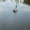 池上のカモ事情?