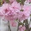 筆を持つ指の白さや八重桜