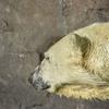 円山動物園 空飛ぶシロクマ