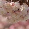 「桜並木」7種類の八重桜(後編)