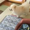 ポメラニアンのシニア犬13歳の高齢期の過ごし方