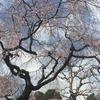桜満開!? 皇居の乾通りの一般公開に行ってみた 待ち時間や桜の咲き具合をリポート