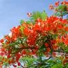 【卒業の花】白いアオザイに映える世界三大花木のひとつ火炎樹 in Vietnam