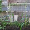 【家庭菜園】トウモロコシの雌穂が出てきました