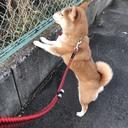 柴犬CHIRO Day-to-day stock