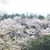 桜・そして家族のこと