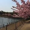 花めぐり 倉敷 福田公園 河津桜満開