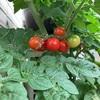 ミニトマト、次々に色づく