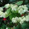 新宿御苑で見た植物21 ゲンペイカズラ