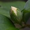 木槿のつぼみ