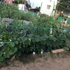 つるなしやっこ(かぼちゃ)とメロンの成長