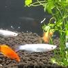 初めての熱帯魚(2)魚たちをお迎えしました!