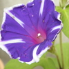 アサガオの色は青で、赤ではなかった。紫ポイか