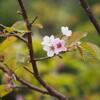 旭岳温泉で日本一遅いチシマザクラのお花見♪そして日帰り温泉→車中泊してきたよ!