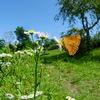 真夏の林縁で - ムモンアカシジミ -