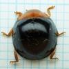 自宅周りで採集した虫たち(テントウムシ科)